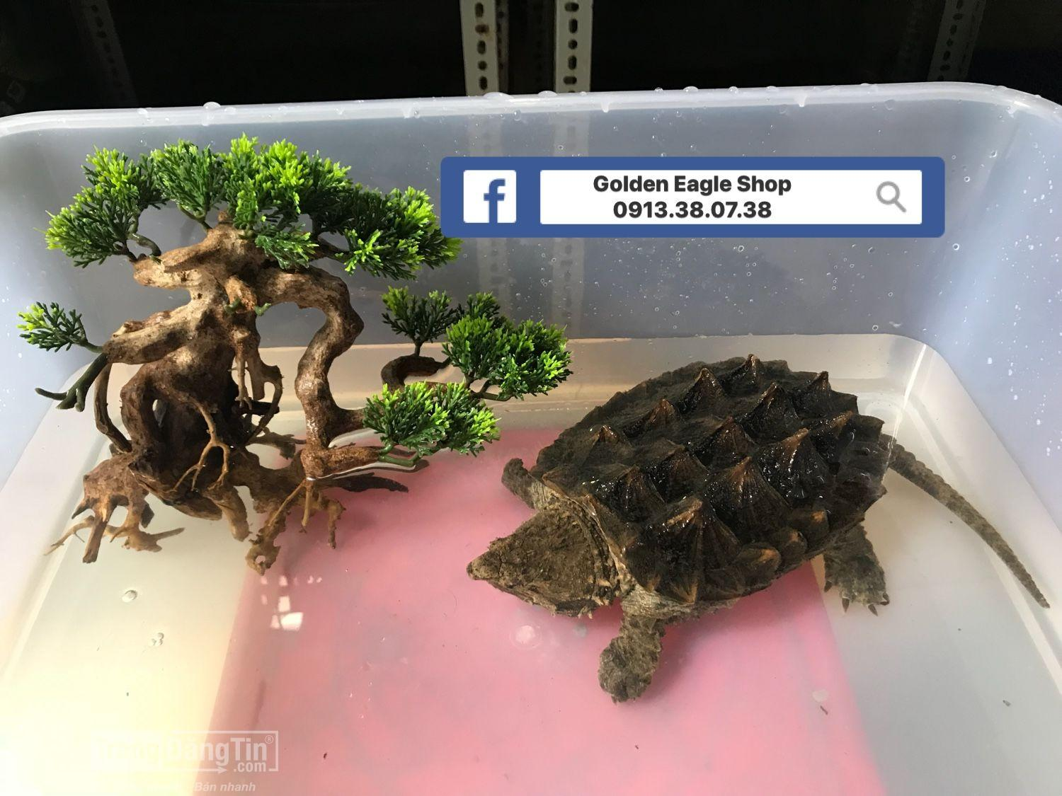 Alligator snapping turtle – Rùa khủng long